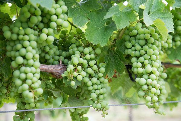 Foto - Chardonnay: a Rainha das uvas brancas