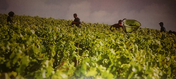 Foto - Colheita de uvas Chardonnay em Chablis