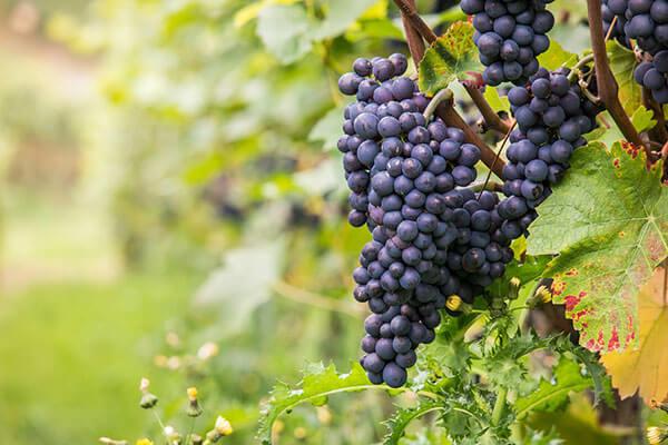 Pinot Noir é considerada a mais 'branca' entre as uvas tintas