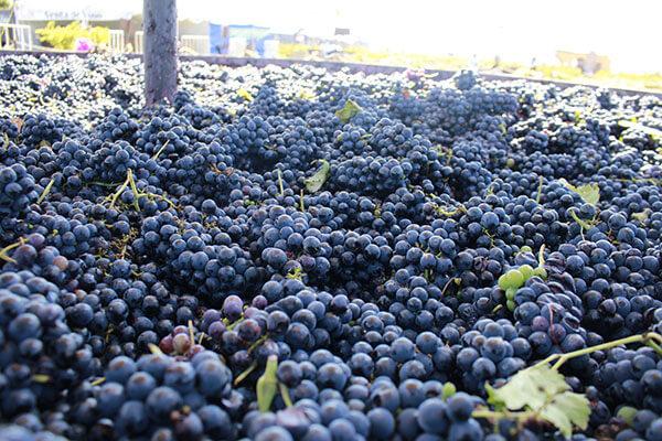 Resveratrol é encontrado nas uvas tintas