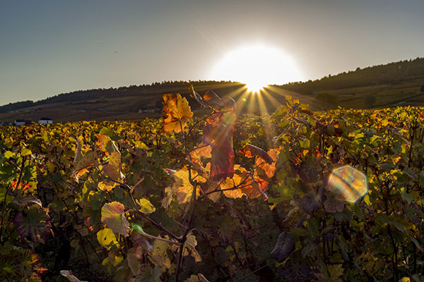 Vinhedo na Borgonha, lar da Pinot Noir