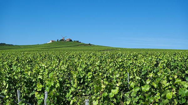 Vinhas de chardonnay da Montagne de Reims, em Champagne