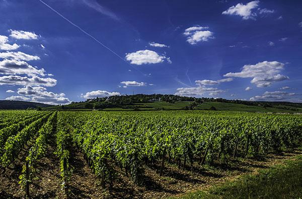 Vinhedos na Borgonha produzem vinhos de qualidade mundial