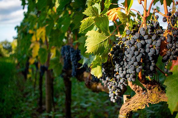 Uvas Sangiovese Grosso, utilizadas na produção do vinho Brunello di Montalcino