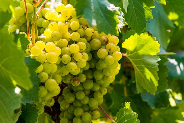 Tipo de uva Torrontés em vinhas da Argentina.