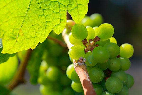 Os bagos das uvas Torrontés Riojano e Sanjuanino são maiores.